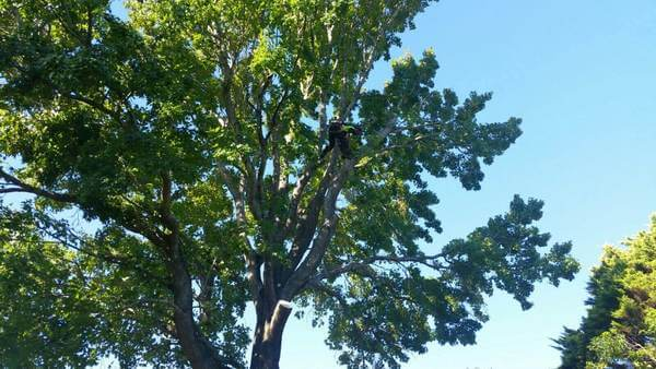 Tree Services Marsfield
